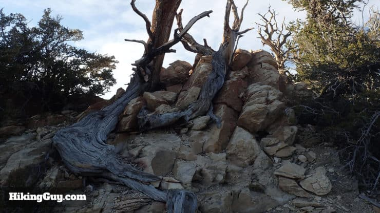 Ancient Bristlecone Pine Forest Hike