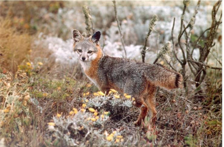 Catalina Fox