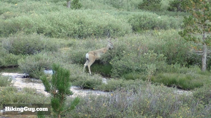 deer on mt whitney trail