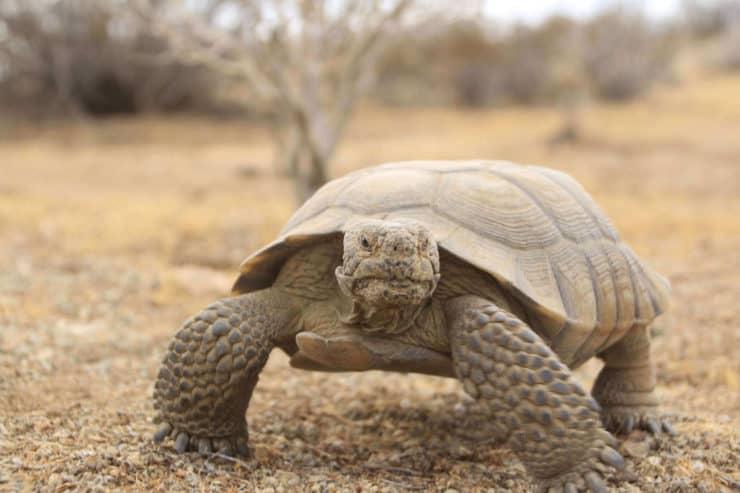 Desert Tortoise Red Cliffs
