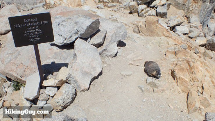 marmot on mt whitney hike