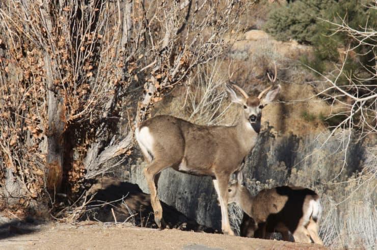 Mule Deer Red Rock Canyon