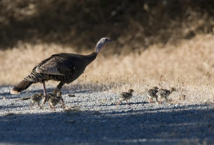 Wild Turkey Cuyamaca